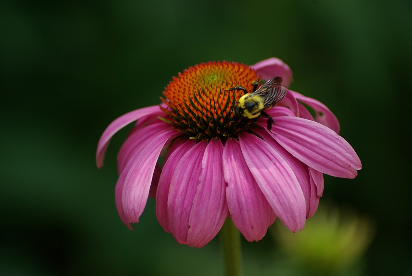 Is Echinacea Safe To Drink During Pregnancy