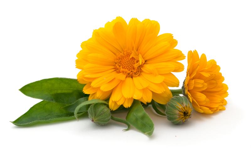 Buy Calendula Tea Marigold Tea Benefits Preparation