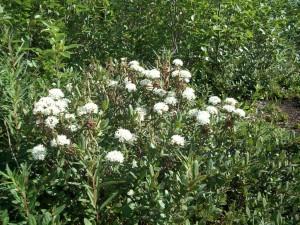 Labrador Plant