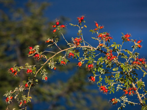 Buy Rose Hip Tea Benefits How To Make Side Effects