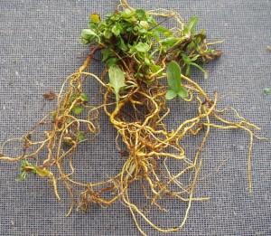 Essiac Root