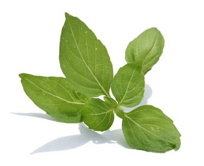 Tulsi Leaf Tea Benefits How To Make Side Effects