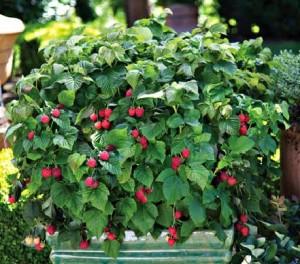 Red Raspberry Plant