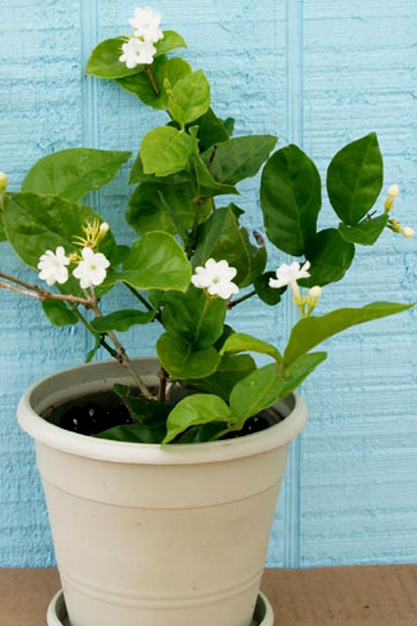 Buy Jasmine Flower Tea Benefits Side Effects How To