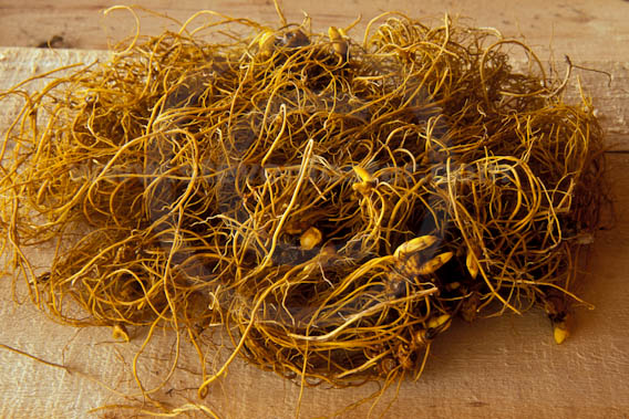 Where can you buy goldenseal
