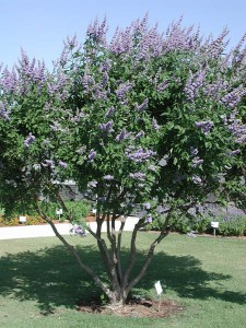 Chasteberry Tree
