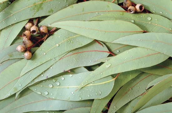 Buy Eucalyptus Tea Benefits How To Make Side Effects