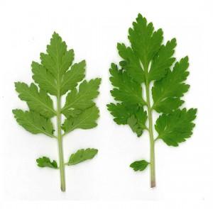 Feverfew Leaf