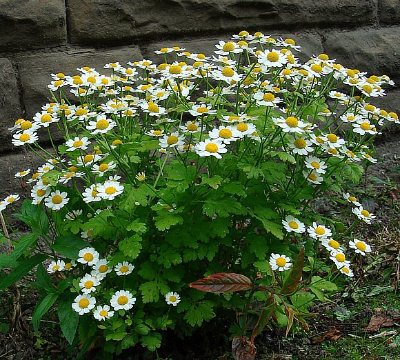 feverfew plant - photo #4