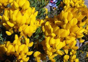 Honeybush Flower