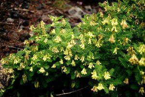 Astragalus Herb