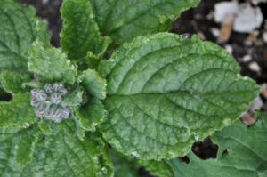 Borage Fresh Leaves