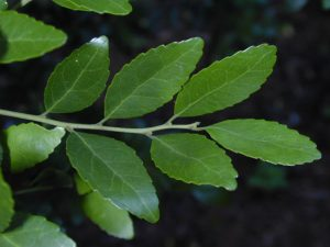 Yaupon Leaves