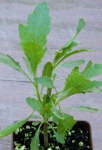 Epazote Plant